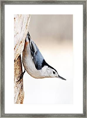 White-breasted Nuthatch Framed Print by Larry Ricker