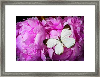 White Butterfly On Pink Peony Framed Print by Garry Gay