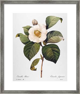 White Camellia Framed Print by Granger