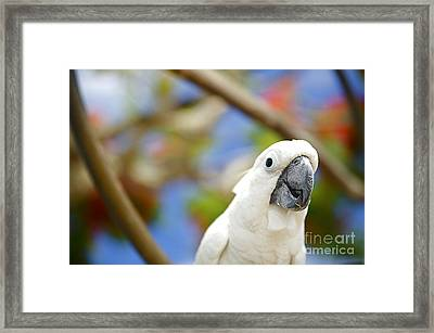 White Cockatoo Bird Framed Print by Kicka Witte - Printscapes