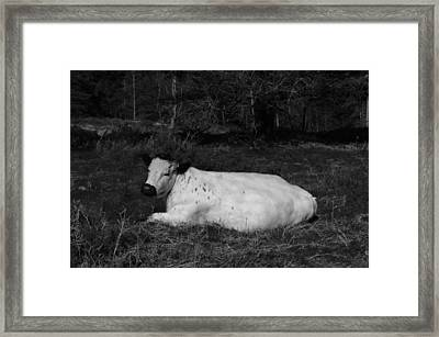 White Cow Luxuriates Framed Print by Adrian Wale