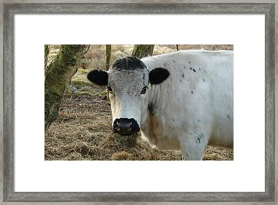 White Cow Portrait Framed Print by Adrian Wale