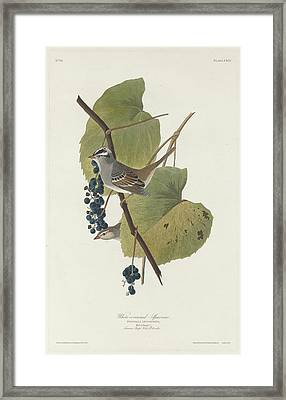 White-crowned Sparrow Framed Print by John James Audubon