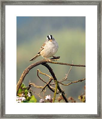 White Crowned Sparrow Framed Print by Laura Mountainspring
