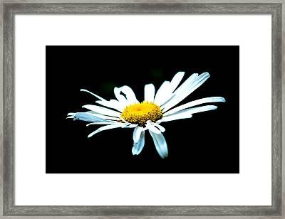 White Daisy Flower Black Background Framed Print by Alexander Senin