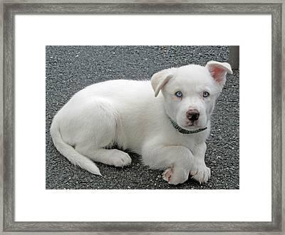 White Dog Blue Eyes Framed Print by Barbara McDevitt