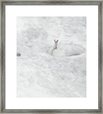 White Ermine  2 Framed Print by Leland D Howard