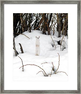 White Ermine Framed Print by Leland D Howard
