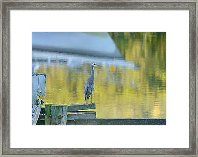 White Faced Heron With Reflections Framed Print by Barry Culling