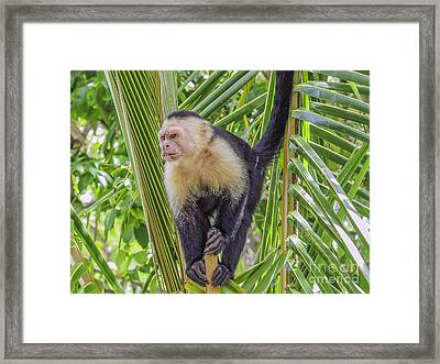 White Faced Monkey In A Tree Framed Print by Patricia Hofmeester