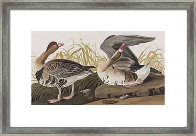 White-fronted Goose Framed Print by John James Audubon