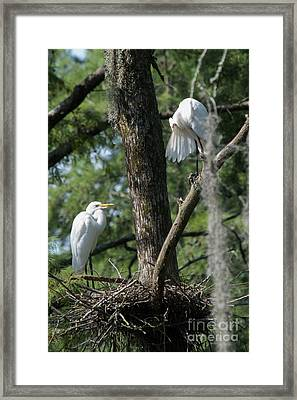 White Herons At Nest Framed Print by Alicia Collins