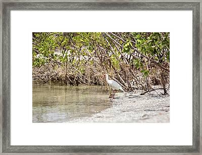 White Ibis At Blind Pass Framed Print by Scott Pellegrin