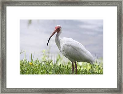 White Ibis  Framed Print by Saija  Lehtonen