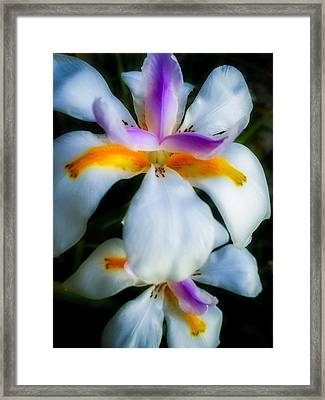 White Lillies Framed Print by Kendall Tabor