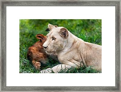 White Lion Cub Framed Print by Jenny Rainbow