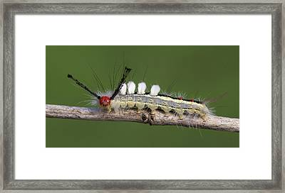White-marked Tussock Moth 2 Framed Print by David Lester