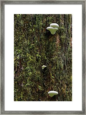 White Mushrooms - Quinault Temperate Rain Forest - Olympic Peninsula Wa Framed Print by Christine Till