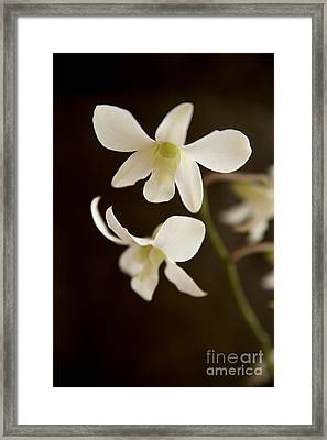 White Orchids 2 Framed Print by Kicka Witte - Printscapes