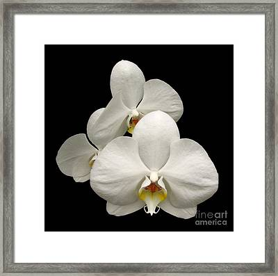 White Orchids Framed Print by Rose Santuci-Sofranko