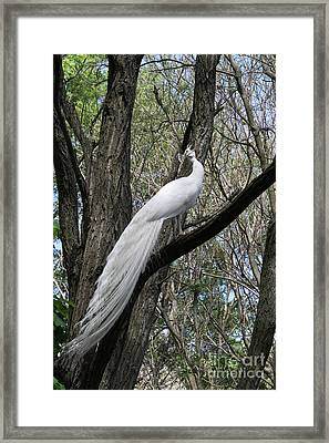 White Peacock Calling Framed Print by Judy Whitton
