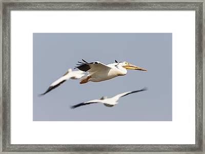 White Pelican 6-2015 Framed Print by Thomas Young
