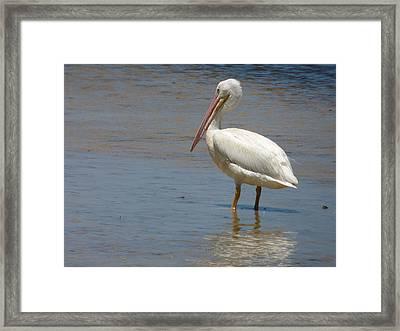 White Pelican Framed Print by Melinda Saminski