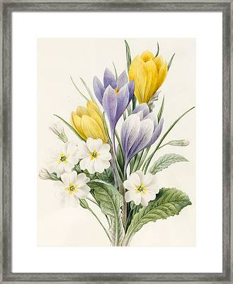 White Primroses And Early Hybrid Crocuses Framed Print by Louise D'Orleans