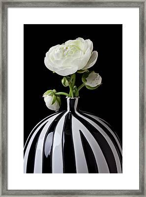 White Ranunculus In Black And White Vase Framed Print by Garry Gay