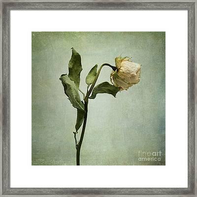 White Rose Desiccated Framed Print by Bernard Jaubert