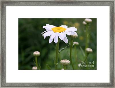 White Shasta Daisy With Buds Framed Print by Kay Novy
