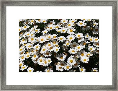 White Summer Daisies Framed Print by Christine Till