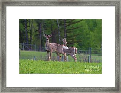 White Tail Deer Framed Print by Naman Imagery