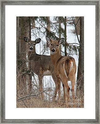 White-tailed Deer Framed Print by J McCombie