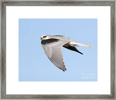 White-tailed Kite Hawk In Flight . 7d11110 Framed Print by Wingsdomain Art and Photography
