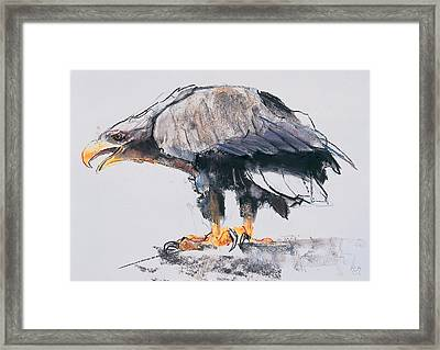 White Tailed Sea Eagle Framed Print by Mark Adlington