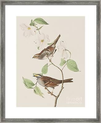 White Throated Sparrow Framed Print by John James Audubon