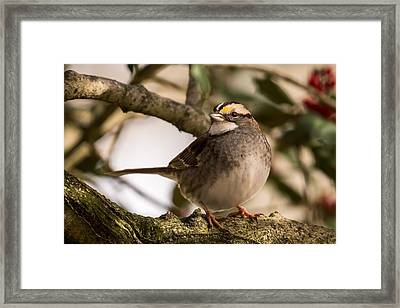 White Throated Sparrow On Branch New Jersey Framed Print by Terry DeLuco
