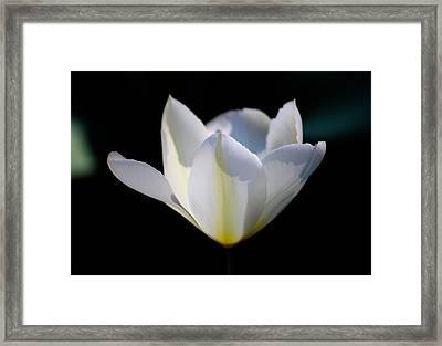 White Tulip Framed Print by Teresa Mucha