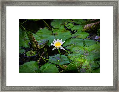 White Water Lily Framed Print by Garry Gay
