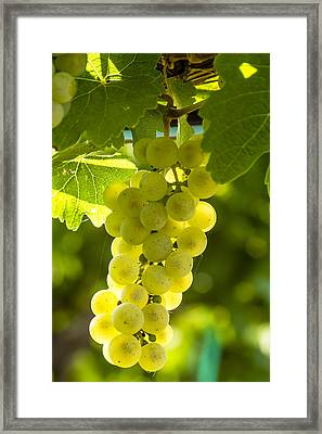 White Wine Grapes Lit By The Sun Framed Print by Teri Virbickis