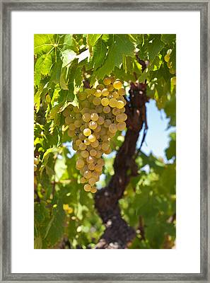 White Wine Grapes  Framed Print by Ulrich Schade