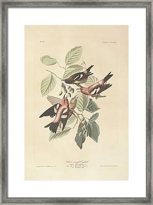 White Winged Crossbill Framed Print by John James Audubon