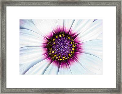 Whites, Pinks With Yellows Framed Print by Sean Davey