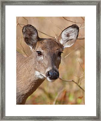 Whitetail Doe Framed Print by Ron  McGinnis