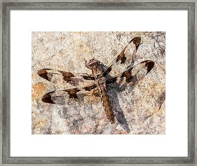 Whitetail Dragonfly On A Sunny Rock Framed Print by Jim Hughes