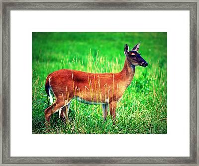 Whitetailed Deer Framed Print by Susie Weaver