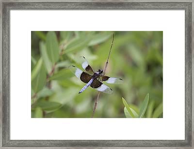Widow Skimmer Male Dragonfly.  Framed Print by Becca Buecher