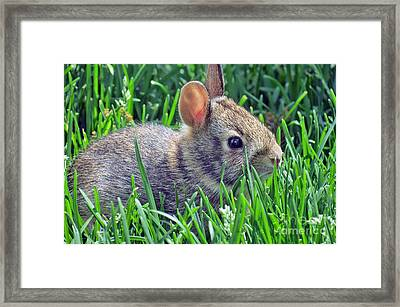 Wild Baby Rabbit Framed Print by Kay Novy