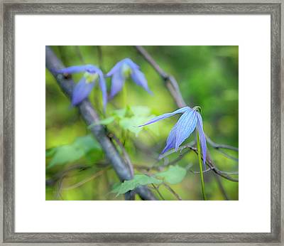 Wild Blue Clematis Framed Print by Theresa Tahara